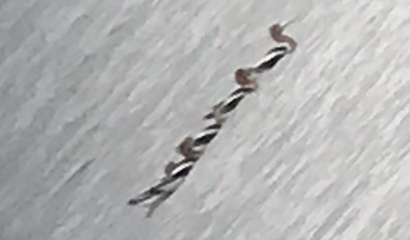 Rare Bird Alert American Avocets
