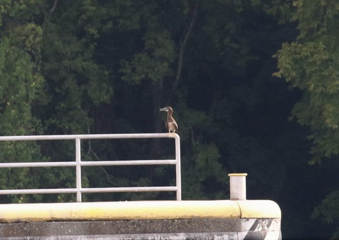 Brown Booby - Nickajack Dam, Marion County, TN