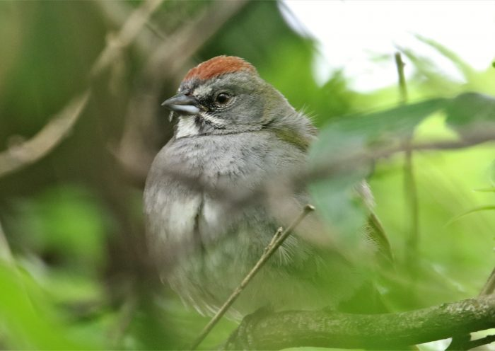 Green-tailed Towhee 1