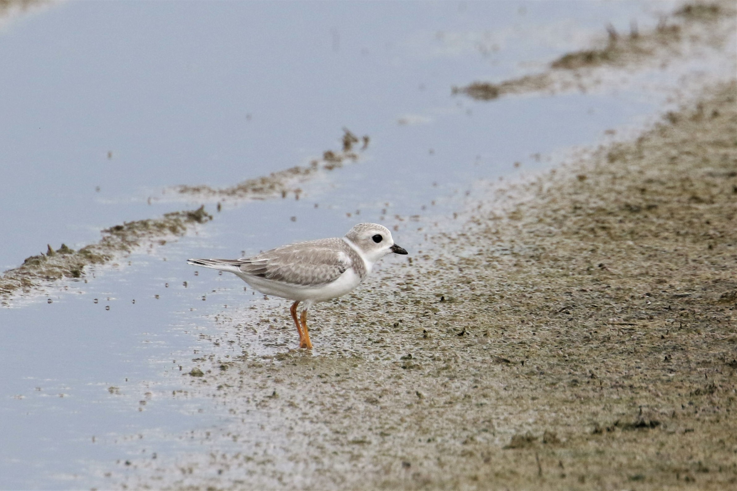 Coffee County's Piping Plover